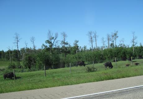 il reste visiblement quelques bisons en Amérique du Nord, ouf!