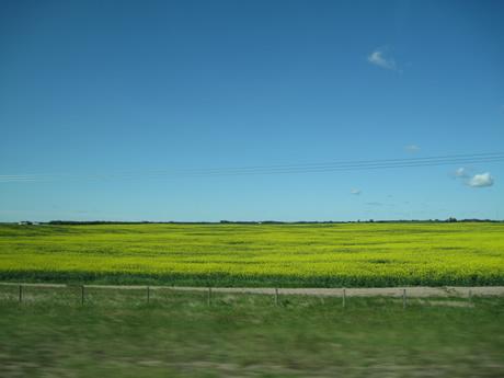 eh oui, Dijon fait sa moutarde avec du colza d'Alberta et de Saskatchewan!