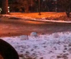 La photo est mauvaise mais il y en avait quatre, tout blancs, superbes, qui s'amusaient dans la neige hier soir, sur le campus.