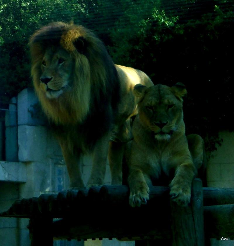 l'amour sauvage du lion