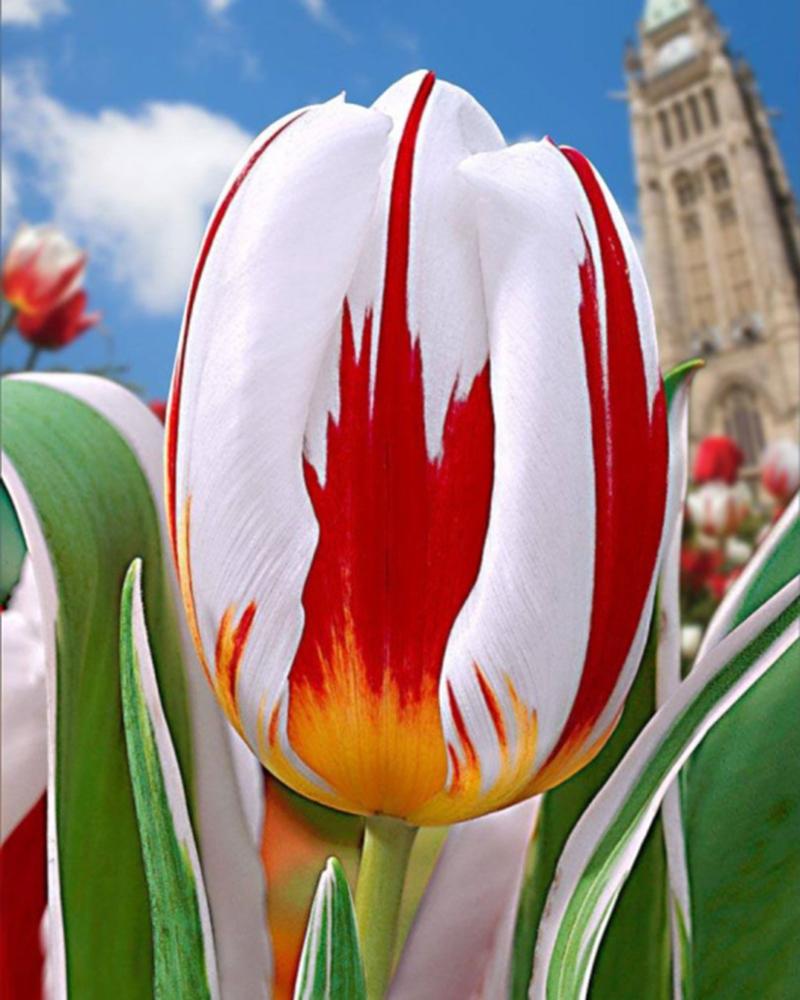 tulipe 150 canada
